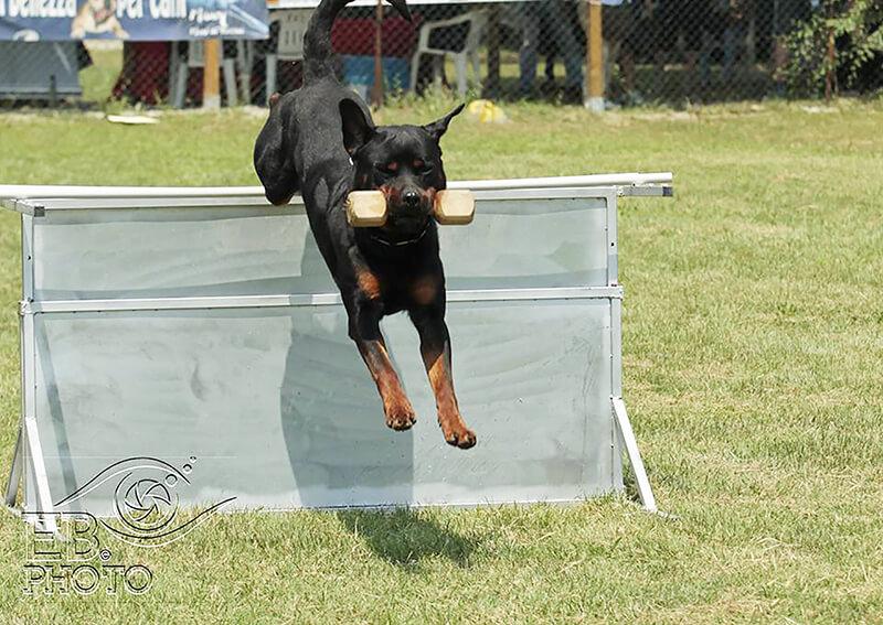 addestramento rottweiler
